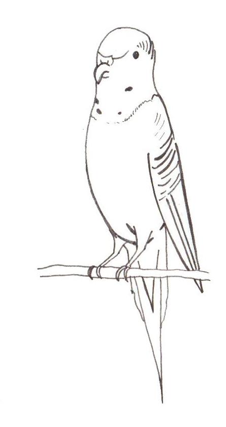 Comment dessiner un perroquet - Perroquet en dessin ...